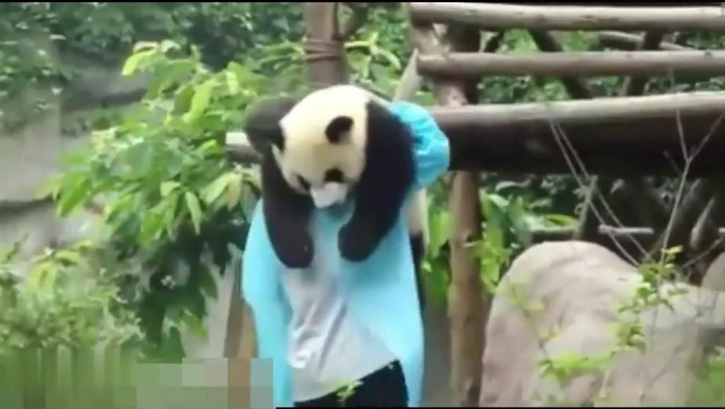 熊猫宝宝竟然挂在树上睡着了,直接被饲养员扛走……笑翻网友
